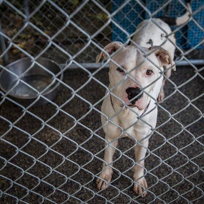 A pit bull mix at Muncie's animal shelter.