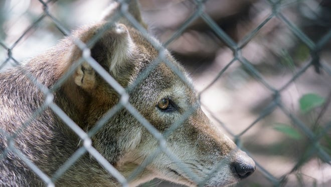 A red wolf is seen in an enclosure at Reflection Riding Arboretum and Nature Center on Thursday, July 26, 2018, in Chattanooga, Tenn. The center is part of a national conservation program helping to breed and repopulate endangered red wolves.