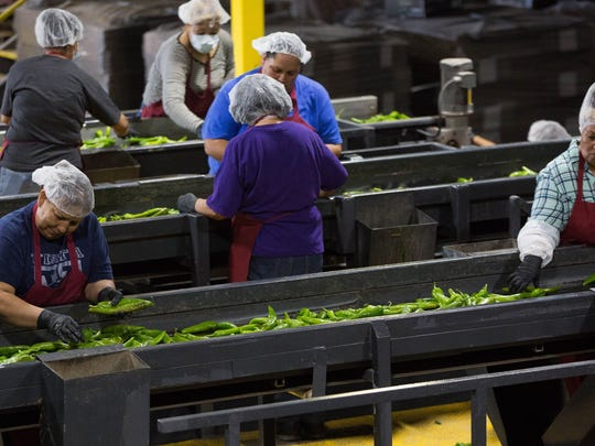 Workers at the Young Guns Produce processing plant sort green chile. Friday September 8, 2017