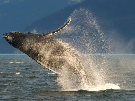 In this July 9, 2014 file photo, an adult humpback whale breaches in Lynn Canal near Juneau, Alaska. On Monday,