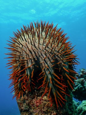 A crown of thorns sea star perches on a coral in Asgadao Bay in the Achang Marine Preserve off Merizo in this photo provided by the Navy. The starfish are hungry coral predators that can destroy large areas of coral reefs in a very short time.