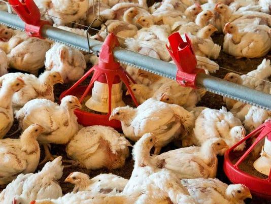 USDA-chickens.jpg