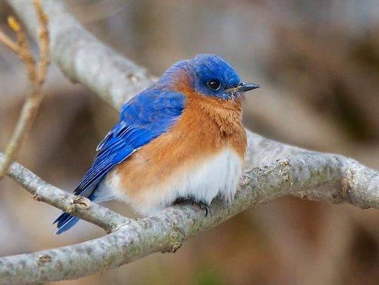 bluebirdssutherland