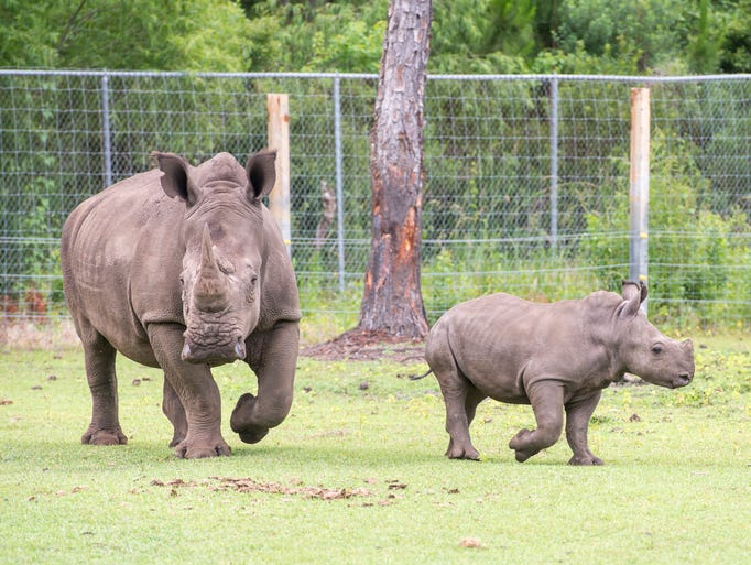 8-year-old Southern White Rhino mother Katie and her