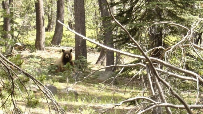 File photo - Bob Keefer of Creswell, Oregon said this California black bear stole food and drove him and his wife from their campsite while they were backpacking at Lassen Volcanic National Park.