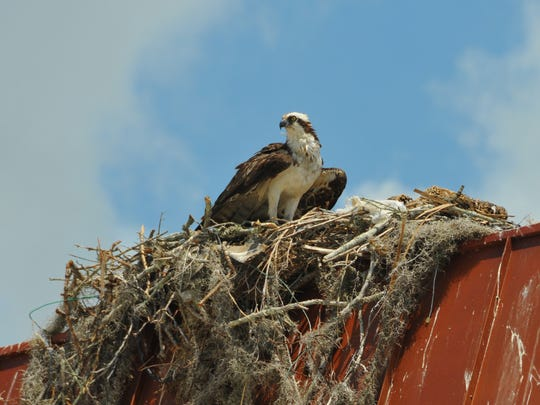 An osprey has a nest with babies on top of the old Miracle City Mall sign at Titus Landing in Titusville.