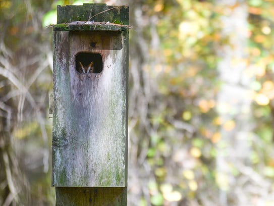 A screech owl peeks out from a wood duck box.
