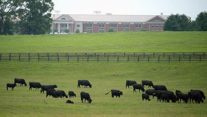 Cows graze on a farm next to Spring Hill High School in Spring Hill,Tenn.
