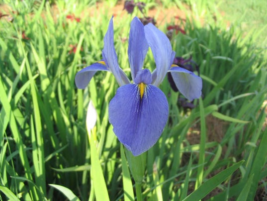 iris_giganticaerulea_lg