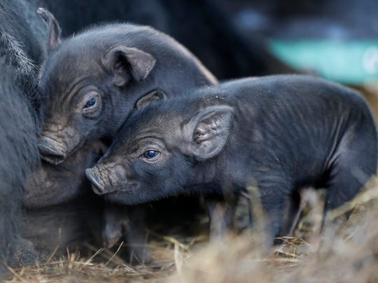 In this Thursday, Dec. 8, 2016, three-day-old mulefoot piglets nuzzle their mother at Dogpatch Farm in Washington, Maine. The American mulefoot hog was once the rarest of all U.S. livestock breeds, and they're still listed as critically rare by the Livestock Conservancy. There are fewer than 500 registered, purebred, breeding mulefoots.