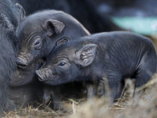 Rare-Pigs.jpg