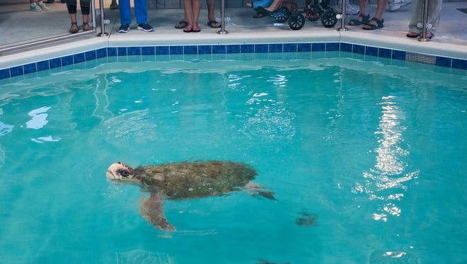 Visitors watch on Aug. 9, 2016, as Gigi, the resident sea turtle, she swims in her tank at the Navarre Beach Sea Turtle Conservation Center.