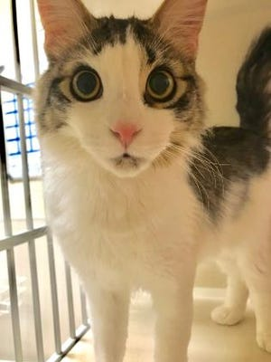 This is Porg, a 1-year-old male domestic shorthair. You can find him at Nevada Humane Society | nevadahumanesociety.org