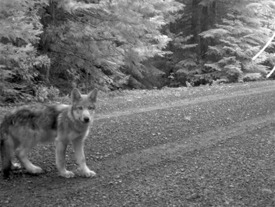 Wandering Wolf Pups_Roem
