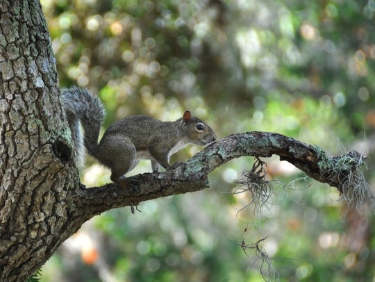A squirrel perches on one of the many oak trees dropping