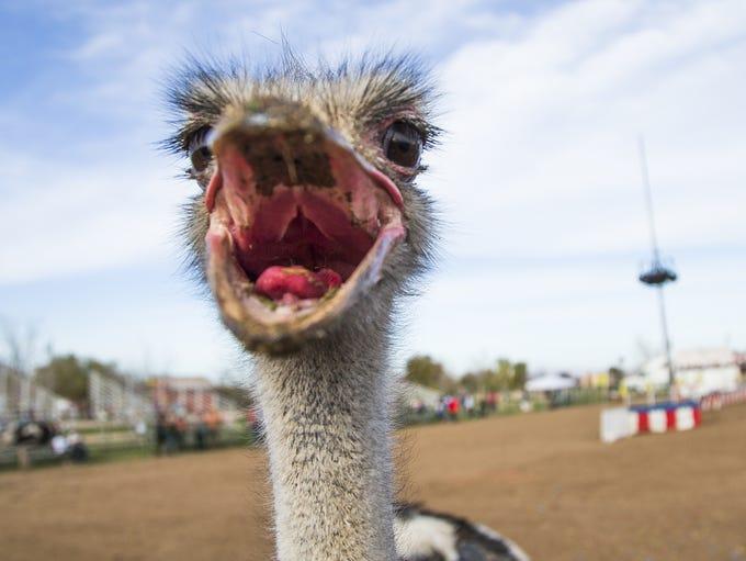 The Chandler Ostrich Festival gets underway, Friday,