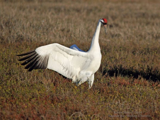 The diet of whooping cranes is mainly wolf berries