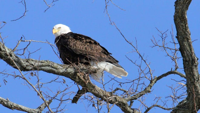 A bald eagle is perched in a tree near the Steamboat Riverfront Park in Verplanck and was photographed by Barbara McCormack of Cortlandt.