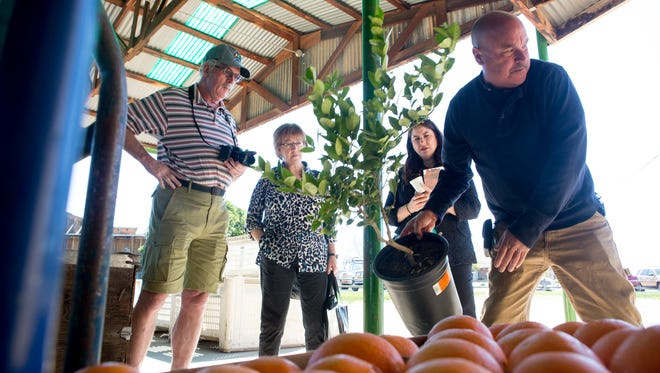 The Orange Patch owner Allen Freeman shows Michael McCarthy, Nancy Kirkpatrick and Michelle Streeter, from visit Mesa, the Mexican lime tree at The Orange Patch along the Fresh Foodie Trail in Mesa, Ariz. on Wednesday, Feb. 24, 2016.