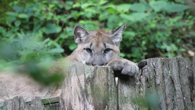 A cougar peers over a resting platform in his hillside exhibit. Nashville Zoo has two male cougars. Brothers rescued after their mother was poached.