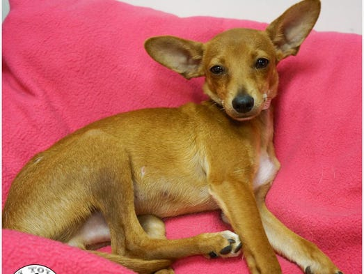 Cooper, a 5-month-old male, is available for adoption from Chi Town.