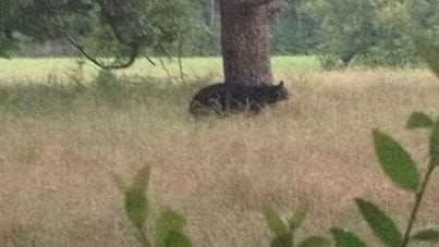Wildlife Biologist Justin Monk captured this photo of a black bear recently.
