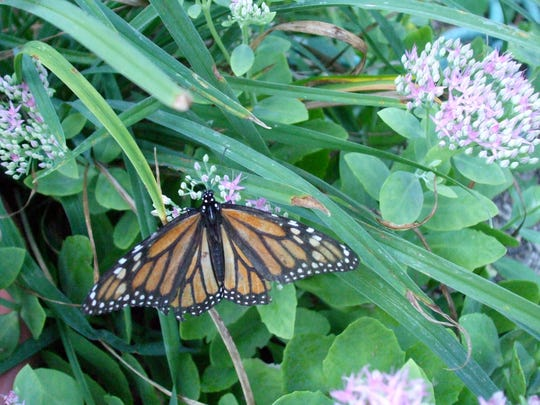 butterfly monarch sedum.jpg