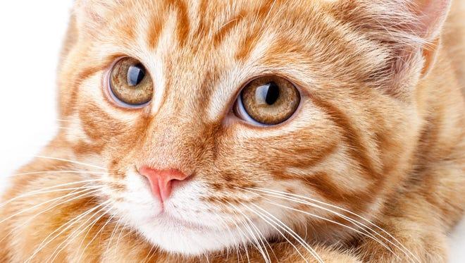 Close-up of orange cat.