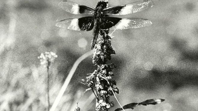 A dragonfly alights on a flower stalk at Vassar College.