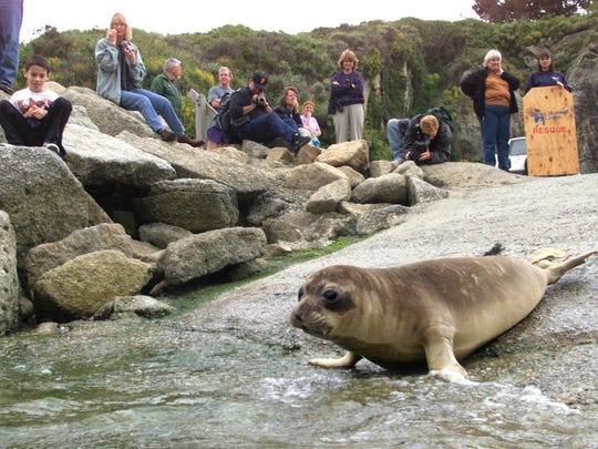 Elephant seals heading into the water at Whaler's Cove at Point Lobos State Park.