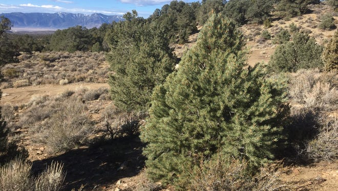 If you want to cut your own Christmas tree there are plenty to choose from on public land in Nevada.
