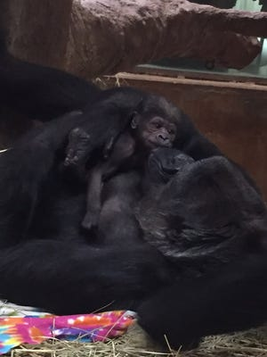 Baby gorilla, Moke, bonds with mom Calaya on Monday, April 16, 2018, at the National Zoo in Washington, D.C. Moke was born Sunday, April 15, 2018.