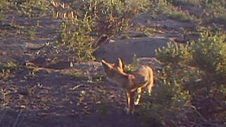ODFW remote cameras captured Kit Fox pups playing in the Malheur County desert.