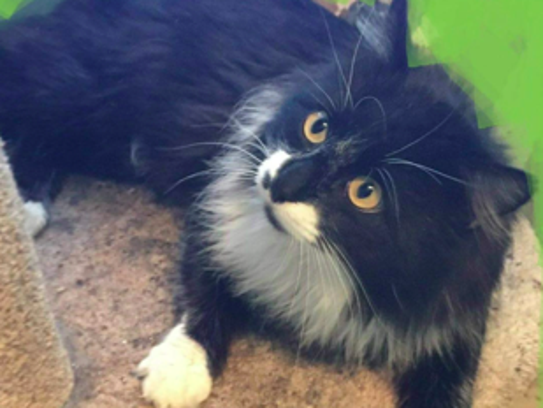 Picasso is a beautiful long haired tuxedo.  He is neutered