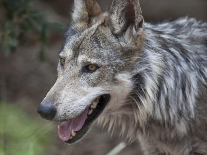 A Mexican gray wolf roams in the wolf exhibit at the