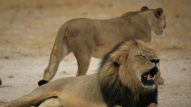 """Much-loved lion called """"Cecil"""" is shown in Zimbabwe"""