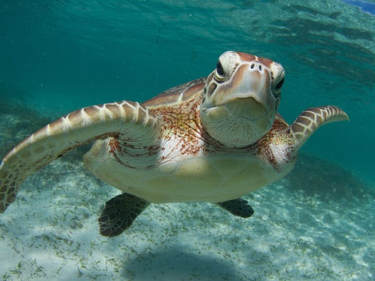 Sea Turtle Awareness Weekend will feature an array of turtle-y awesome activities all weekend long as Adventure Aquarium raises money for the Sea Turtle Conservancy, a non-profit organization headquartered in Florida that works to conserve and recover sea turtle populations.