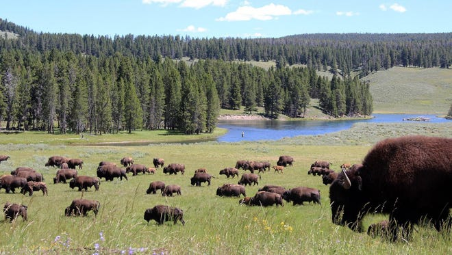 A herd of bison grazes past an angler fishing in the Yellowstone River in Yellowstone National Park. The National Park Service is celebrating its 100th anniversary this year.
