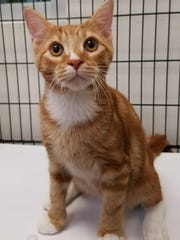Chip is a 5-month-old orange-and-white boy with quite the personality. When he first came into us, he got real sick real fast, but with time and TLC, he got better and now he's showing his true ornery kitten colors, which is great to see! If you want a sweet, spunky companion, Chip just might be the guy for you!
