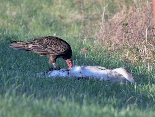 636610367545389005-wolf-2-vulture-feeding.JPG