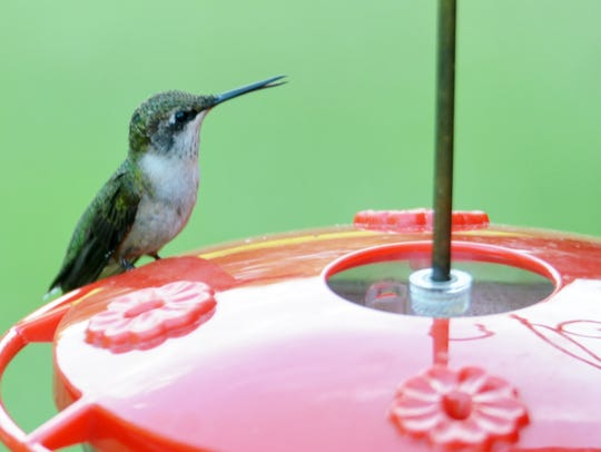 Our amazing Ruby-throated hummingbirds have arrived!