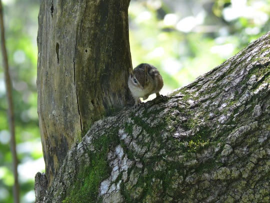 A Chipmunk peers down at the author.