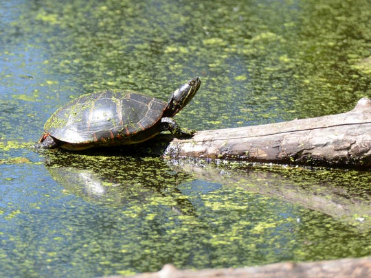 This Painted Turtle was photographed along Wildwood's
