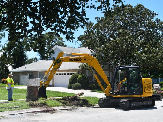 Workers remove root systems from chopped-down oak trees