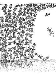 BUR20150901 Watermilfoil drawing1