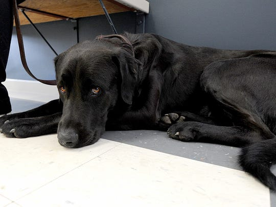 """Shady"" is mastiff and black labrador mix. He was shot"