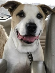 Mongo is an adult, neutered-male pit bull terrier mix