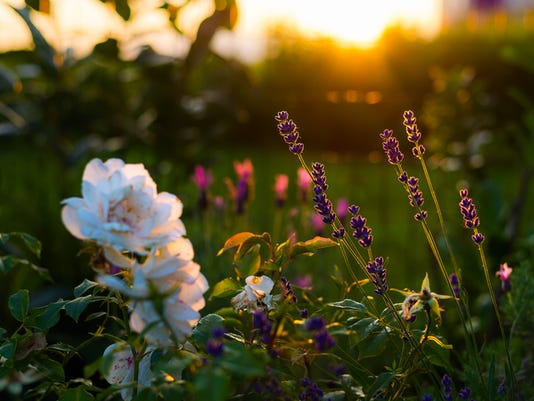 Lavender and rose flowers, home garden in backlight