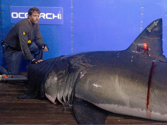 Capt. Brett McBride places his hand on the snout of a great white nicknamed Genie in September 2012 while scientists collect blood, tissue samples and attach tracking devices on the research vessel Ocearch off the coast of Chatham, Mass. A great white named George that was tagged by the same group is now swimming offshore of Naples in the Gulf of Mexico.