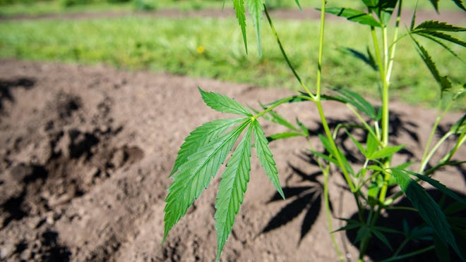 A state report found estimated farmers raked in $4 billion in revenue from hemp last year.
